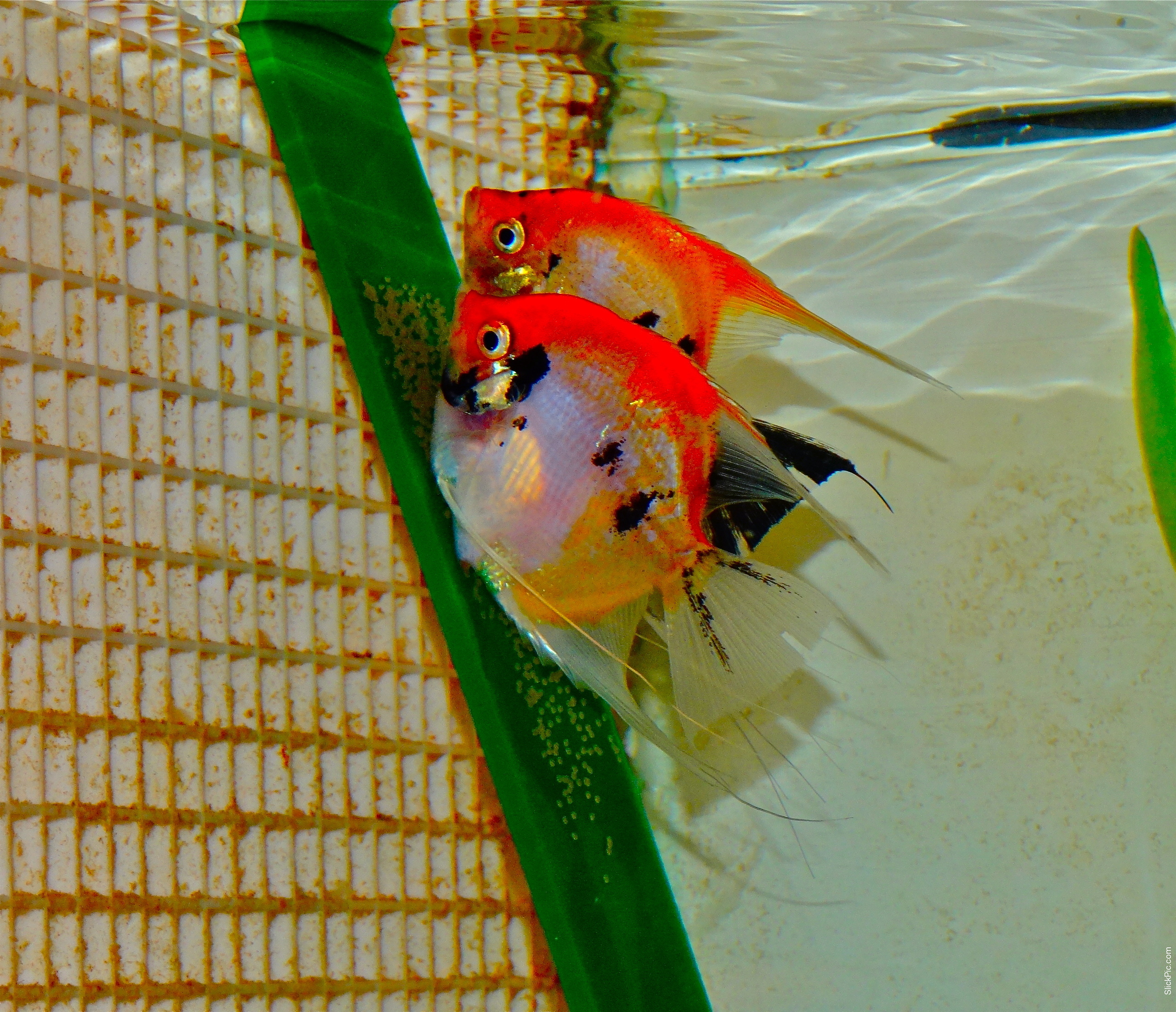 Archived auction fwangelfish1367505456 for Red koi fish