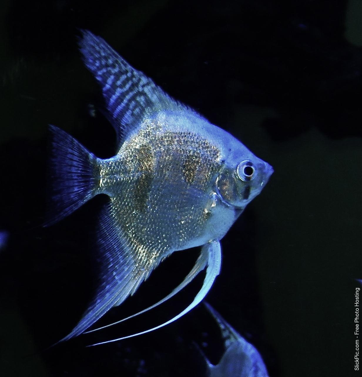 Freshwater aquarium fish for sale philippines - Dsc04051