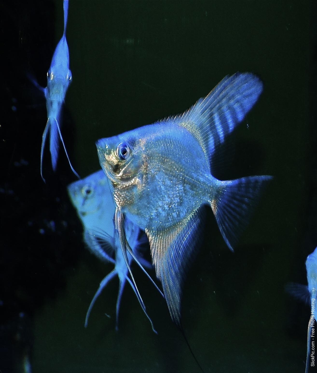 Blue Freshwater Angelfish