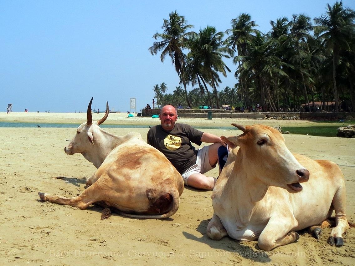 goa_cows