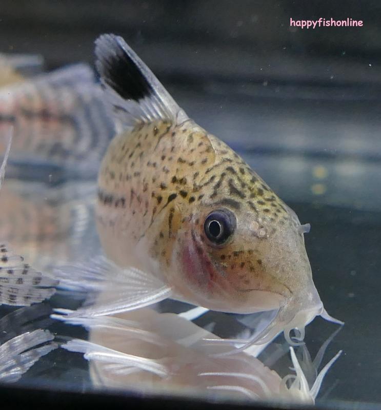 leopardus 1