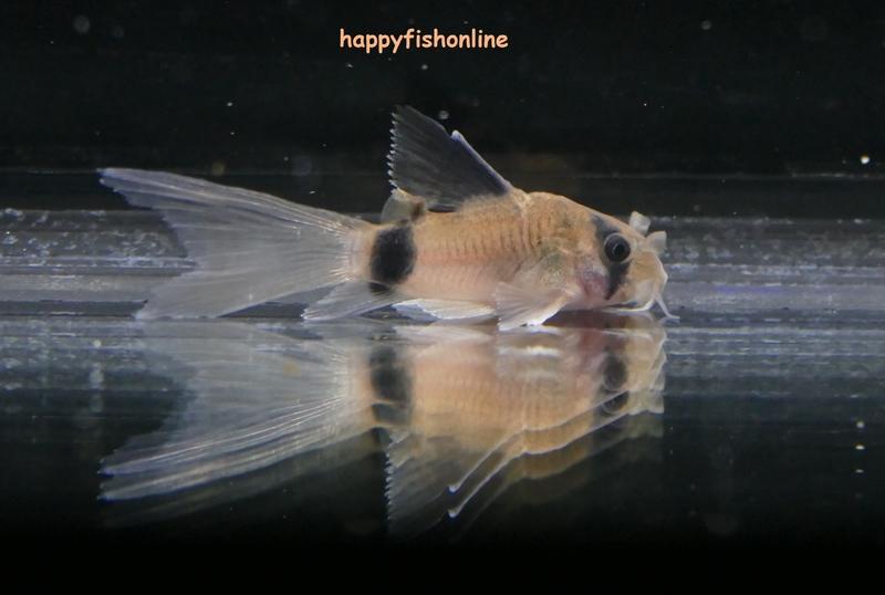 hifin panda 1