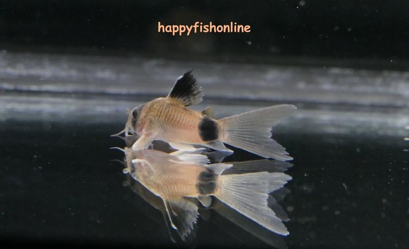 hifin panda 6